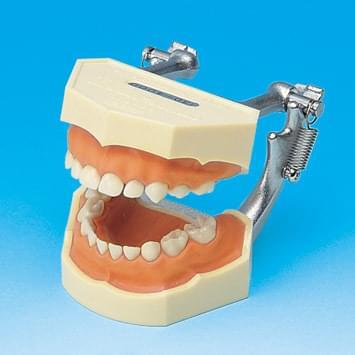 Model s odnímateľnými zubami - mliečny chrup (ďasno z ružového silikónu)