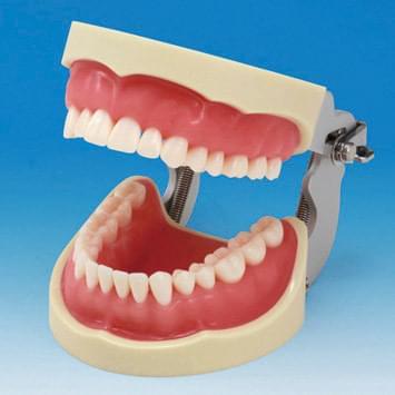 Model čeľuste s protetickou náhradou (32 zubov) - ružové ďasno