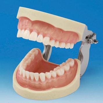Model čeľuste s protetickou náhradou (32 zubov) - transparentné ružové ďasno