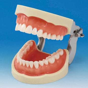 Model čeľuste s protetickou náhradou (32 zubov) - ďasno pre silikónový odtlačok