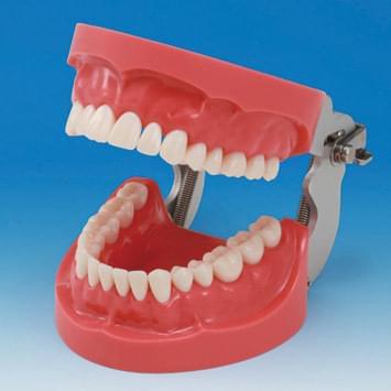 Model čeľustí s tvrdým ďasnom (32 zubov)