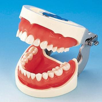 Model čeľuste s protetickou náhradou (28 zubov) - ružové ďasno