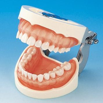 Model čeľuste s protetickou náhradou (28 zubov) - ružové transparentné ďasno
