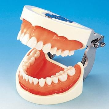 Model čeľuste s protetickou náhradou (28 zubov) - ďasno pre silikónový odtlačok