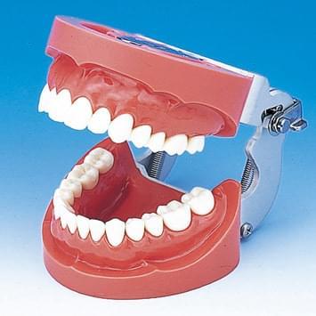 Model čeľuste s tvrdým ďasnom (28 zubov)
