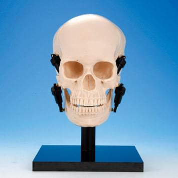 Model funkcie čeľustí - lebka
