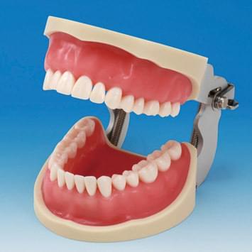 Praktický model čeľustí CON2001-UL-SP (32 zubov)