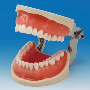 Praktický model čeľustí CON2001-UL-UP (32 zubov)