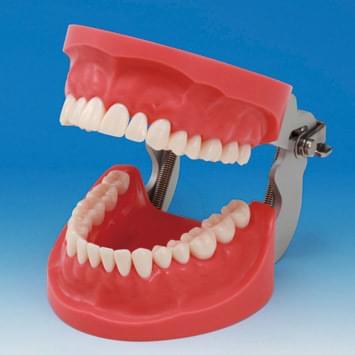 Model čeľustí pre tvorbu zubných náhrad CON2001-UL-HD (32 zubov)