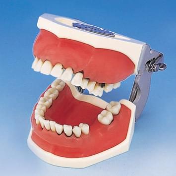 Model čeľustí pre parodontálnu chirurgiu