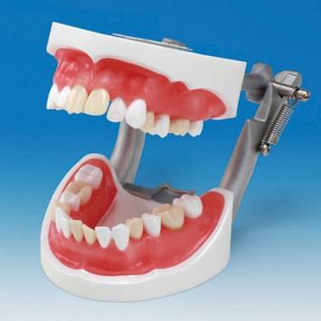 Model extrakcie zubov SUG2004-UL-SP-DM-28