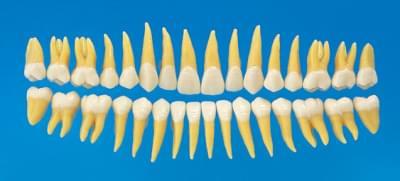 Anatomický model zubu B3-305 (sada 32 zubov)