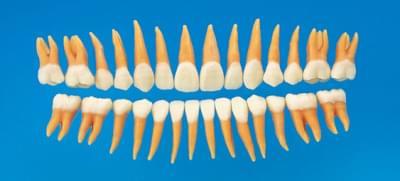 Anatomický model zubu B2-306 (sada 28 zubov)