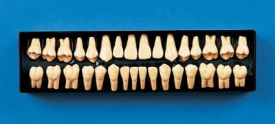 2 × zväčšený model zubu C12-AT.1A (sada 32 zubov)