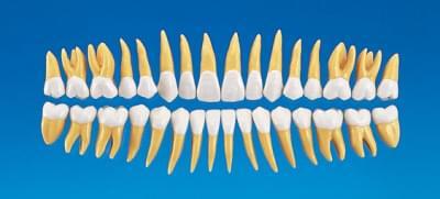 2,5 × zväčšený anatomický model zubu B10-330 (sada 32 zubov)