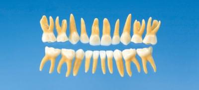 Anatomický model detského zubu B4-309B (sada 20 zubov)
