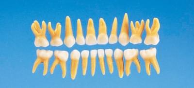 Anatomický model mliečneho zubu B4-309 (sada 20 zubov)