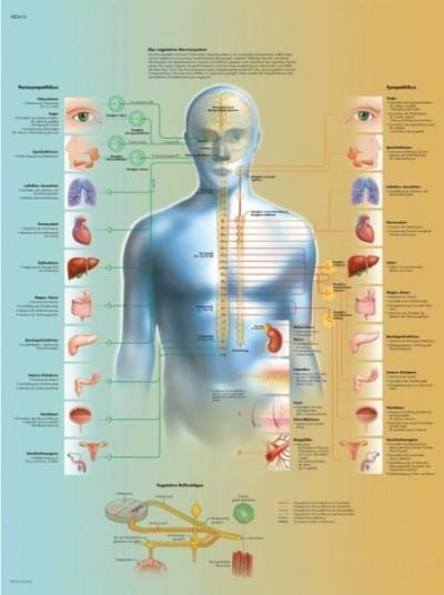 VR1610L - Vegetatívny nervový systém