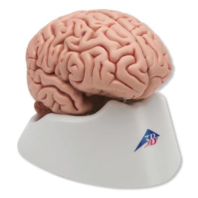 C18 - Klasický mozog, 5 častí