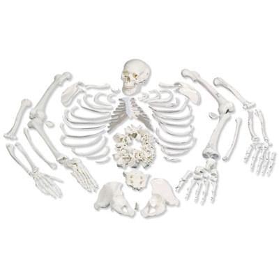 A05 / 1 - Model celej ľudskej kostry bez kĺbov s lebkou rozdelenou na 3 časti