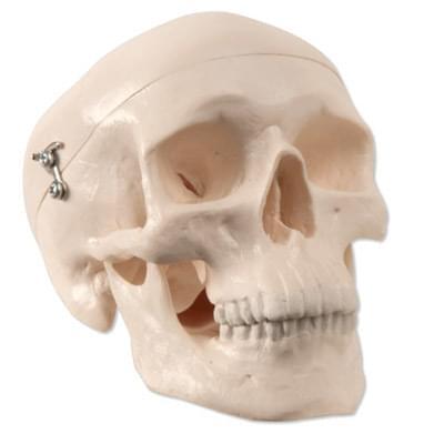 A18/15 - Zmenšený model ľudskej lebky, 3 časti - horná časť, základová časť, dolná čeľusť