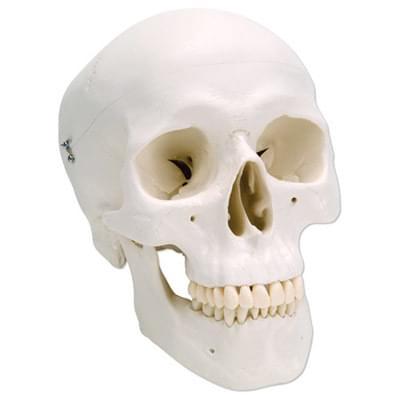 A20 - Klasický model ľudskej lebky, 3 časti