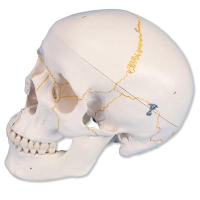 A21 - Očíslovaný klasický model ľudskej lebky, 3 časti