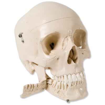 W10532 - Model lebky so zubami pre vyťahovanie zubov, 4 časti
