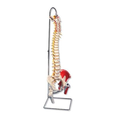 A58 / 7 - Luxusný ohybný model chrbtice s čapmi stehenných kostí a namaľovanými svalmi