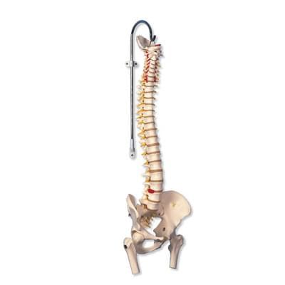 A59 / 2 - Vysoko ohybný model chrbtice s čapmi stehenných kostí