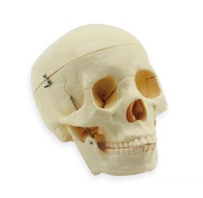 GD0102 - Ľudská lebka