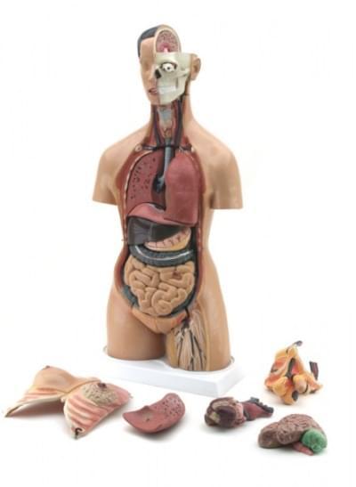 GD0202 – Ľudský trup mužský – ženský
