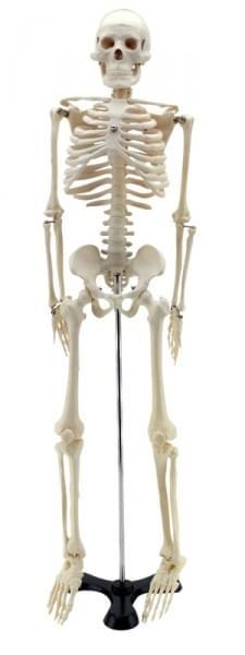 GD0111 - Zmenšená ľudská kostra, 85 cm