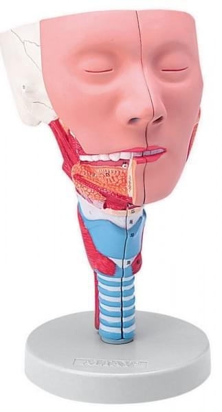 6030.11 - Hlava s hltanovými svalmi