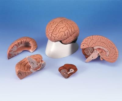 C16 - Model mozgu