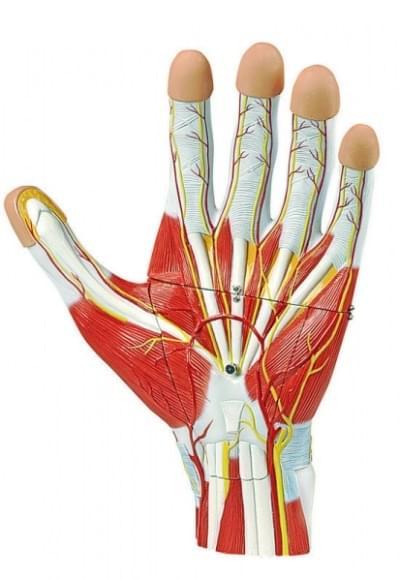 6000.37 - Anatómia ruky