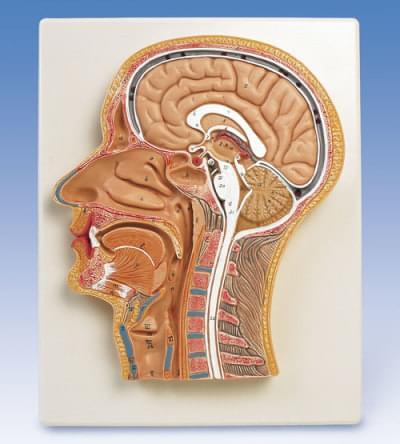 C12 - Rez strednou časťou hlavy