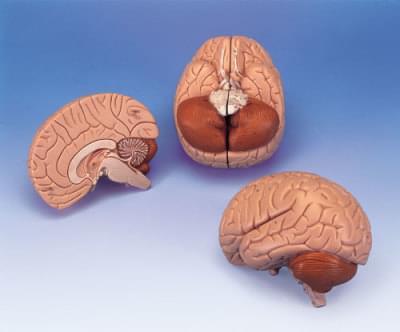 C15 - Model mozgu