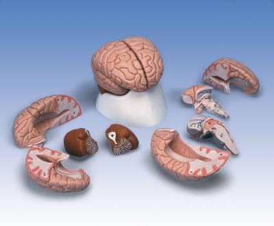 C17 - Model mozgu