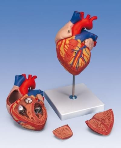 G12 - Model srdca