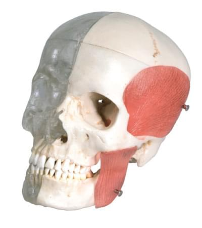 A282 - Členená kombinovaná lebka