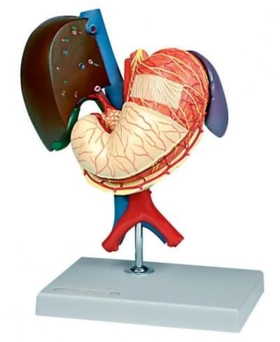 6090.20 - Žalúdok a pridružené orgány horného brucha