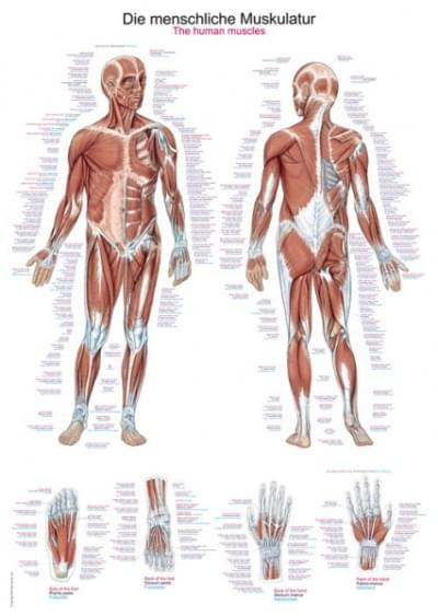 AL100- Ľudské svalstvo