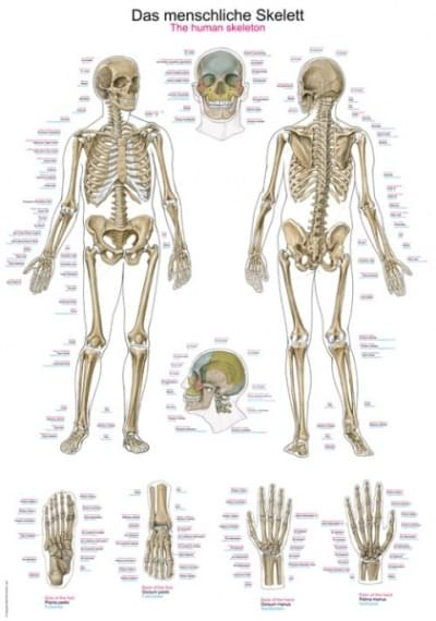 AL102 - Ľudská kostra