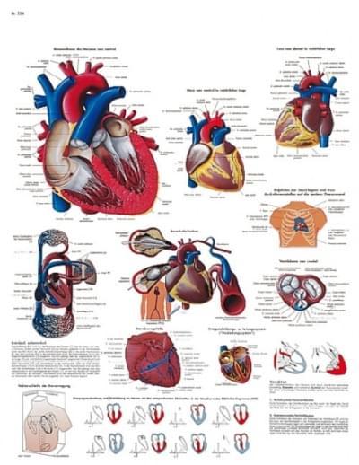 VR1334L - Lidské srdce