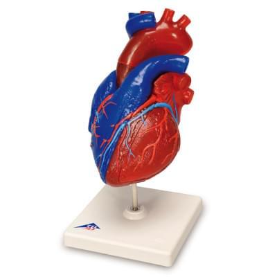 G01/1 - Didakticky malovaný model srdce, životní velikost, 5 částí
