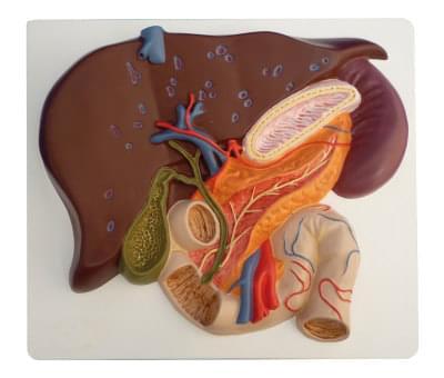 6090.07 - Pečeň so žlčníkom, pankreas a dvanástnik