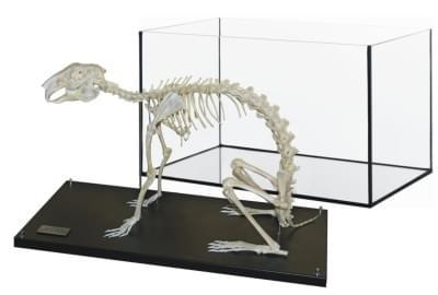 Kostra potkana