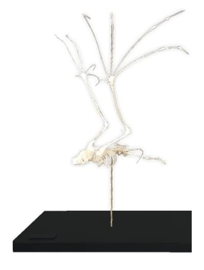 Kostra netopiera
