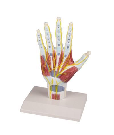 M260 - Model anatomickej Štruktúry ruky